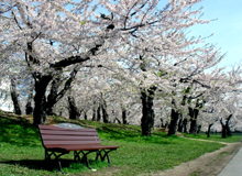 Cherry blossom viewing under cherry trees